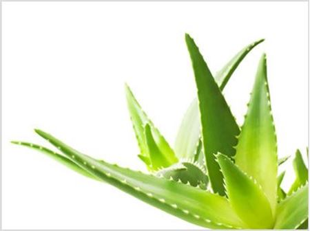 Picture for category Aloe Vera