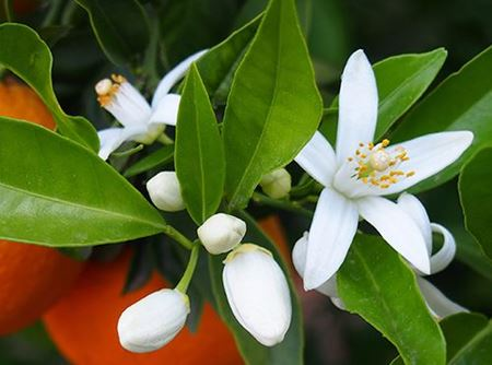 Picture for category Sweet Neroli